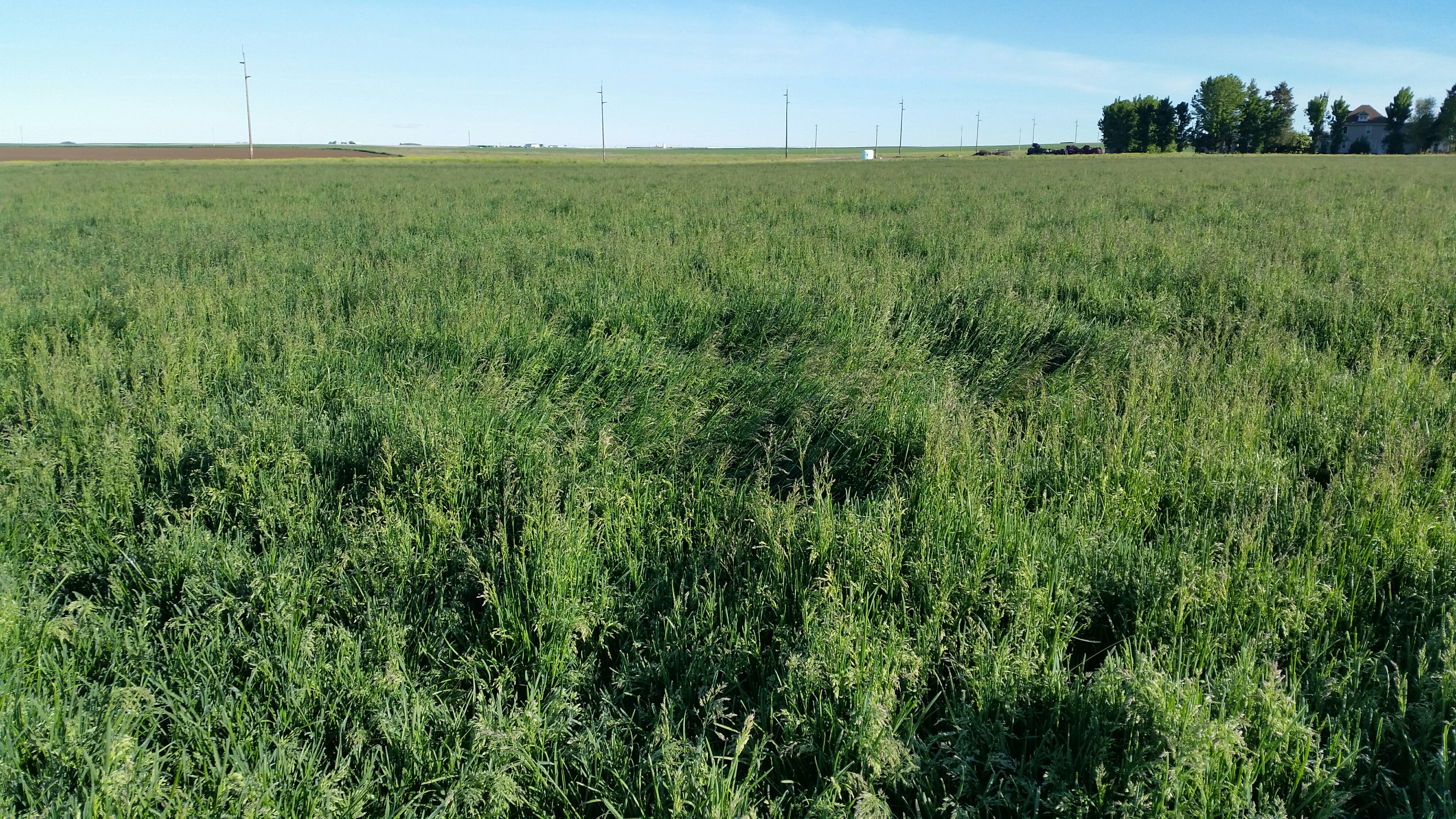 blueberry_kentucky-bluegrass_production-field_turf-merchants