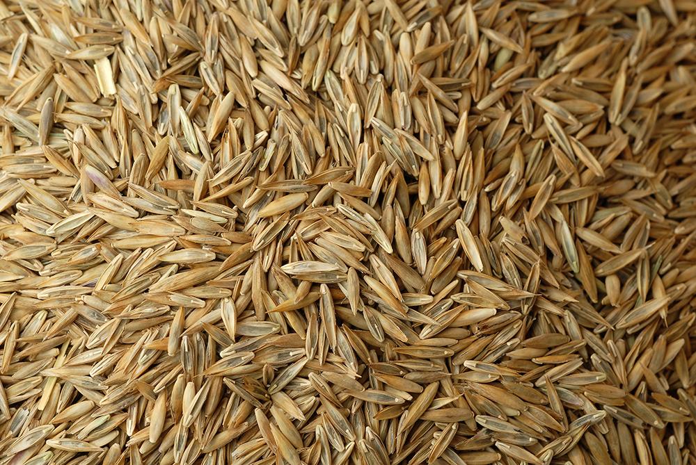 fescue-seed_turf-merchants