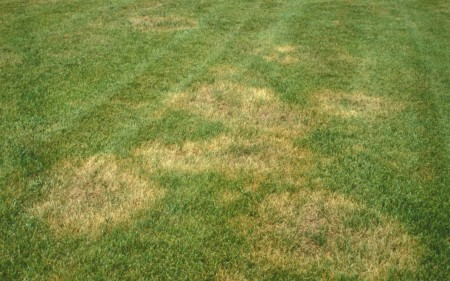 brown-patch-tall-fescue-nc-state-univ